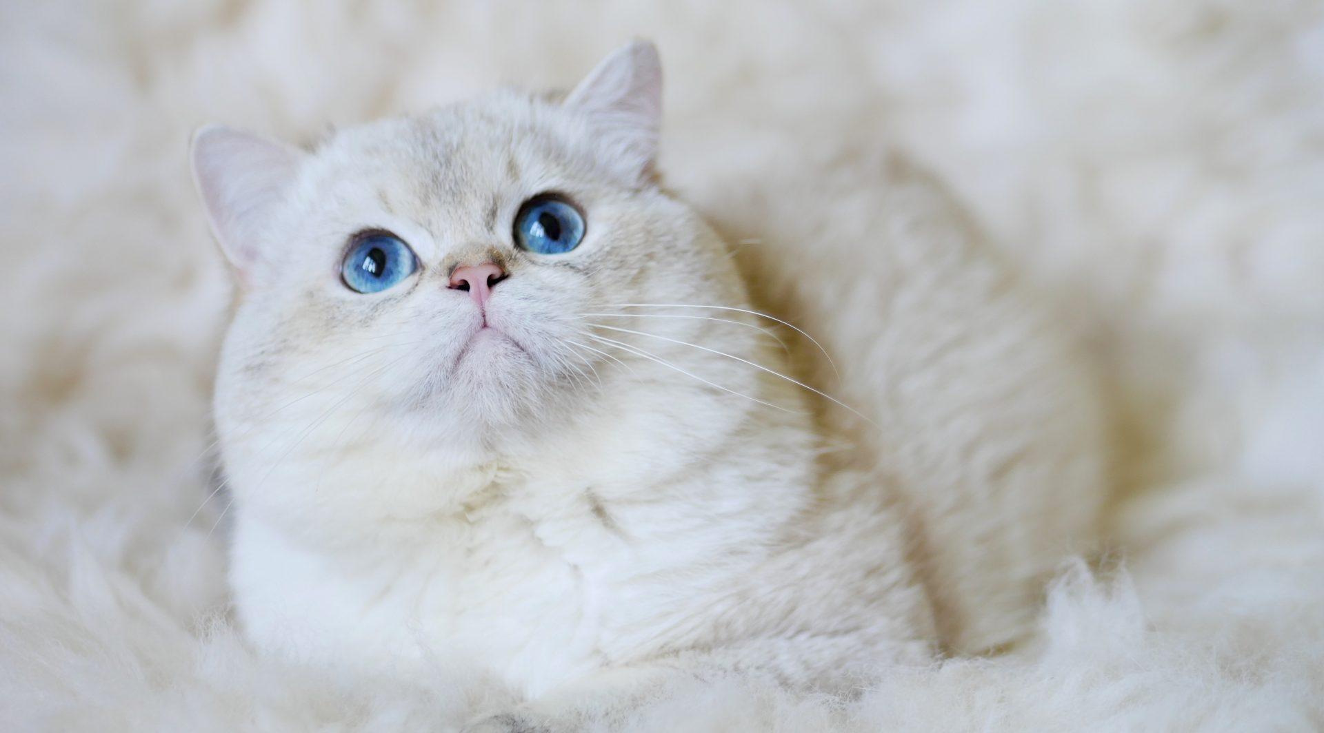ZOJKA*PL – Hodowla Kotów Brytyjskich Złotych Colourpoint